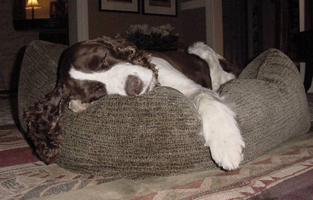 Springer Spaniel Napping