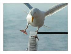 Gull Off Balance